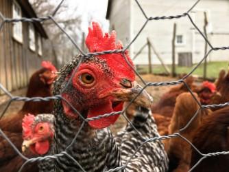chicken friends