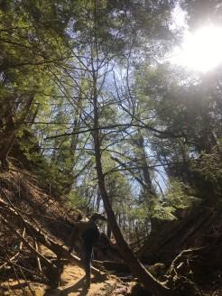 Hemlock shining in Pearl Ravine